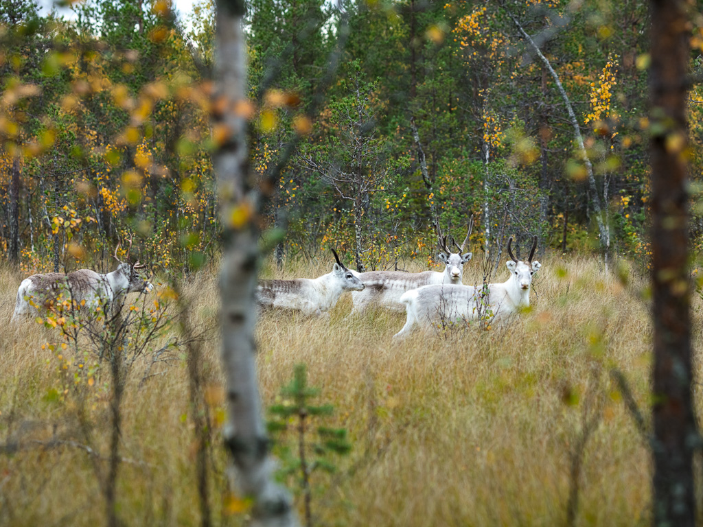Lapponia_Finlandia_Svezia_Autunno_Foliage_-13