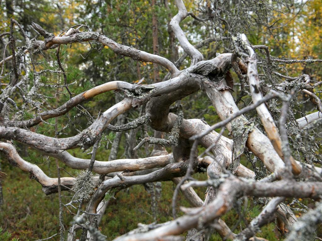 Lapponia_Finlandia_Svezia_Autunno_Foliage_-15