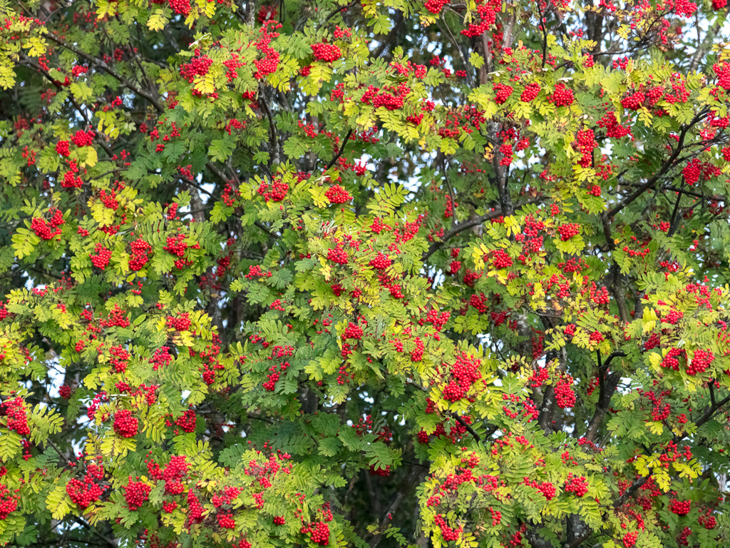 Lapponia_Finlandia_Svezia_Autunno_Foliage_-65
