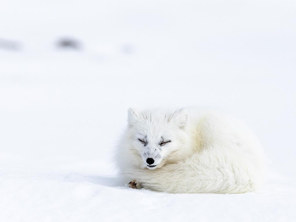Arctic fox on the snow in Svalbard.