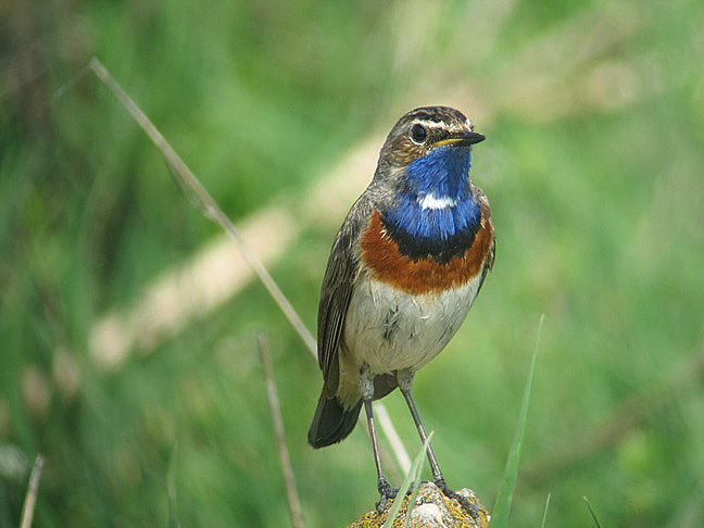 Bluethroat_by_Daniel_Bastaja