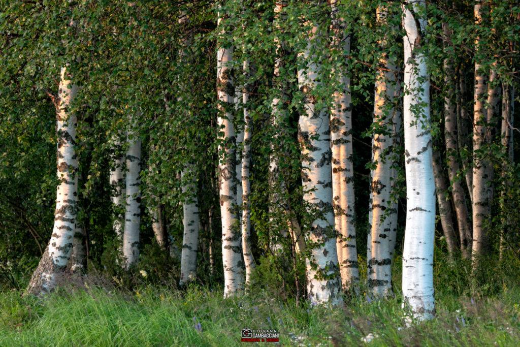 Gallerie dai Viaggi  Y1A8290-Modifica-1024x683 Luglio 2016 - Lapponia, Storia di una calda estate