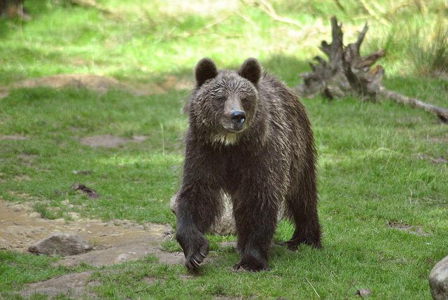 Viaggi di Gruppo  European_brown_bear_Ursus_arctos_arctos [RINVIATO al 2021] Maggio 2020, Il risveglio della Natura