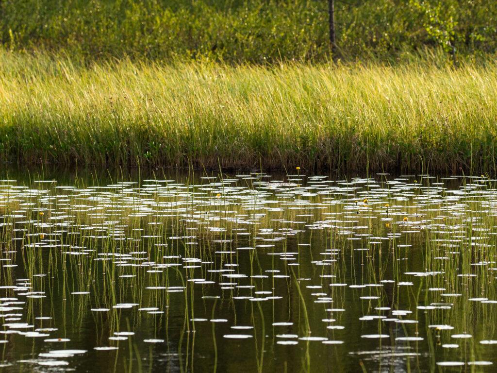 Viaggi di Gruppo  C36A5886-1024x768 2-7 Giugno 2021. Il risveglio della Natura. BioWatching in Lapponia con Giulia Bimbi