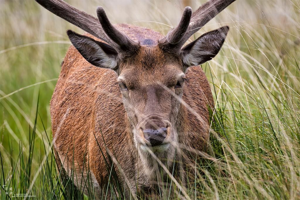 Viaggi di Gruppo  Scozia_Cervo_02_1024 [RINVIATO al 2022] Luglio 2021. La Natura dell'Isle of Mull, Scozia. Con Enrico Fulco