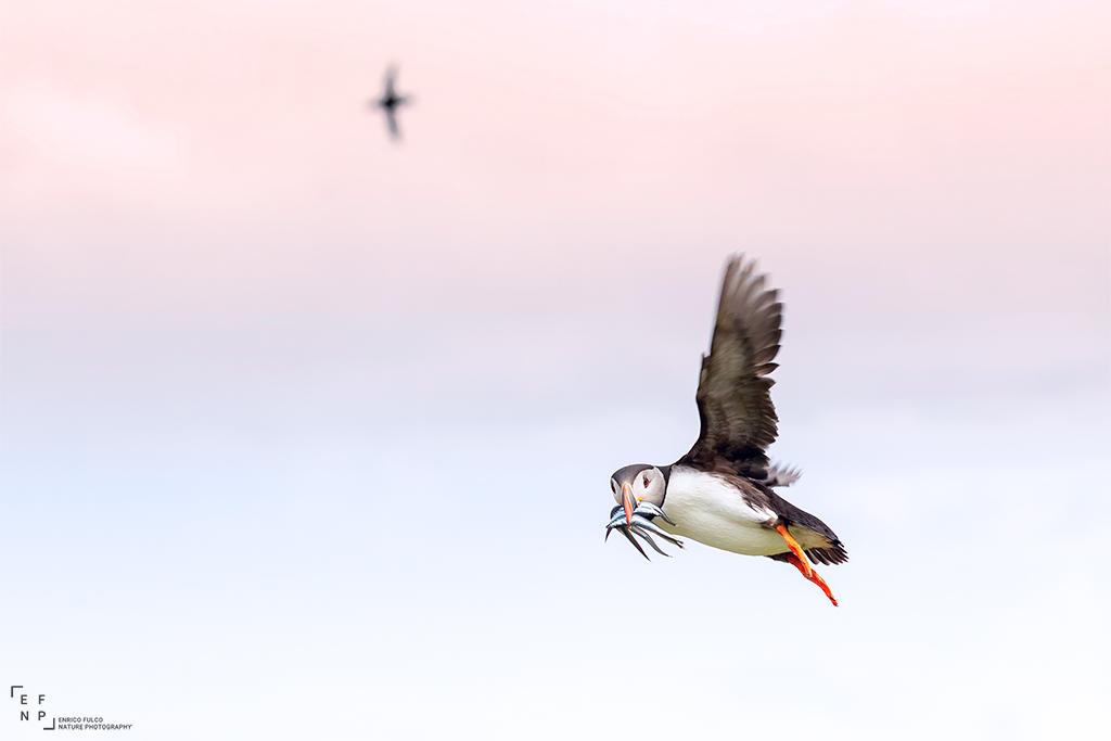 Viaggi di Gruppo  Scozia_Puffin_07_1024 [RINVIATO al 2022] Luglio 2021. La Natura dell'Isle of Mull, Scozia. Con Enrico Fulco