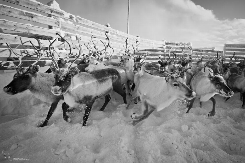 Storie di luoghi lontani  Finnmark_Renne_02-1024x683 Storia di un incontro con i Sami del Finnmark