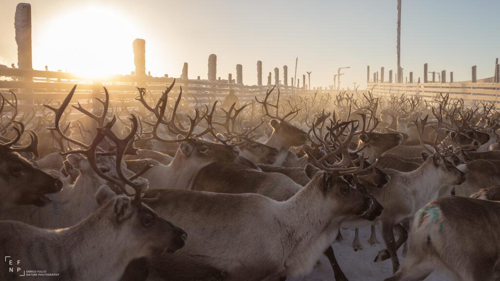 Storie di luoghi lontani  Renne_final_2400-1024x576 Storia di un incontro con i Sami del Finnmark