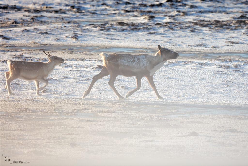 Storie di luoghi lontani  renne-on-the-beach-2_2400-1024x683 Storia di un incontro con i Sami del Finnmark